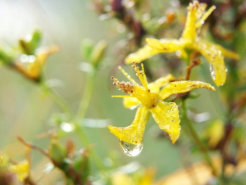 Study published in Pharmacopsychiatry compared St johns wort to Paxil
